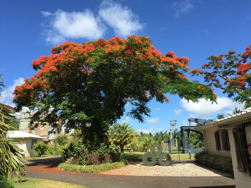 A flamboyant tree in full bloom at Pamplemousse